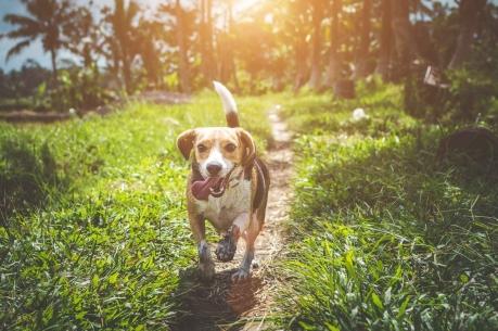 Beagle: symbool voor de kwispelende staartfilosofie